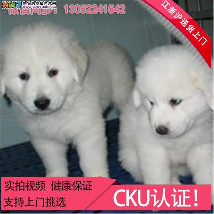 常年出售澳版萨摩幼犬 骨量 毛量 品相全到位