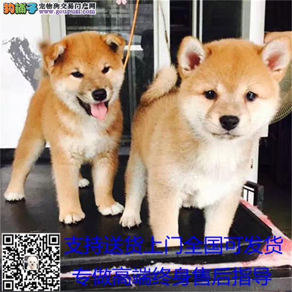 高端狼狗各种幼犬、专业繁殖包质量、可送货上门