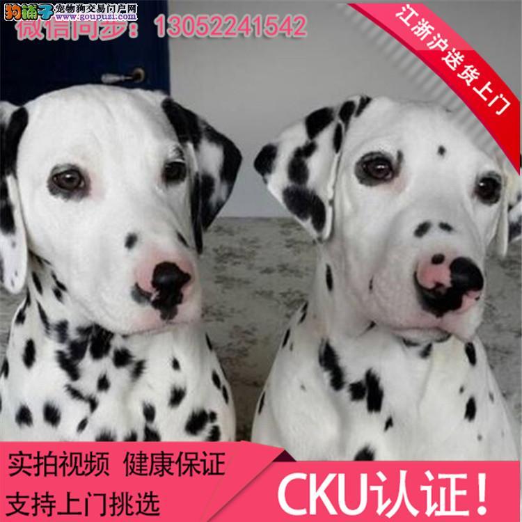 精品斑点幼犬 CKU认证血统 质量三包 完美售后*