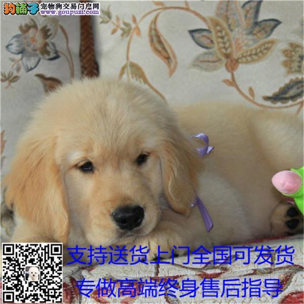 cku认证犬舍出售高品质各种宠物犬签协议证件齐全