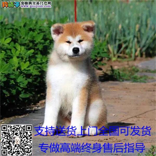 基地直销高品质日系美系秋田犬 品相好 保健康售后