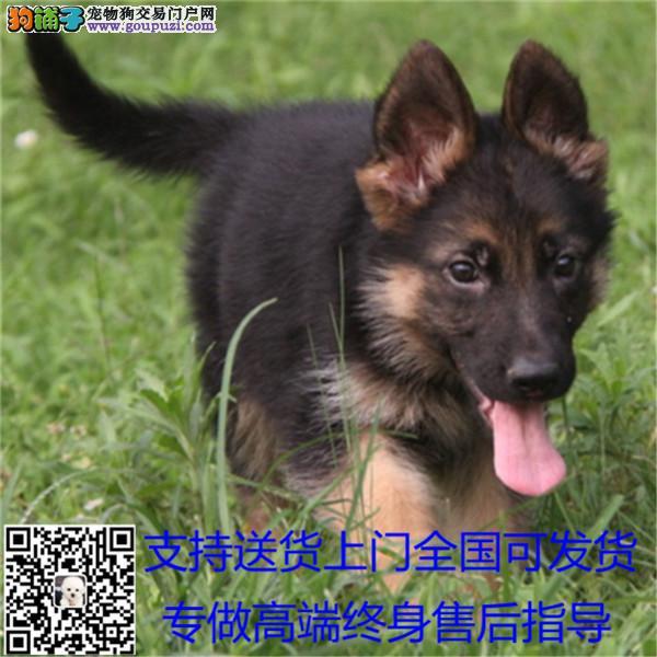 聪明活泼德牧幼犬 出售血统纯正保健康专业繁殖#