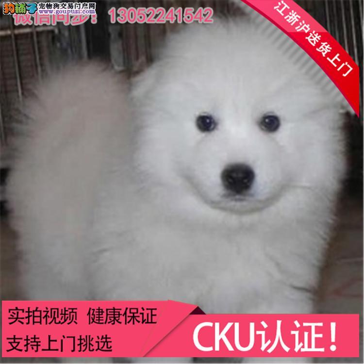 高品质萨摩耶雪橇犬 纯种健康 洁白如雪微笑迷人#