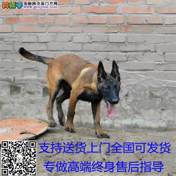 中国的马犬繁殖基地出售纯种马犬 保纯保健康#