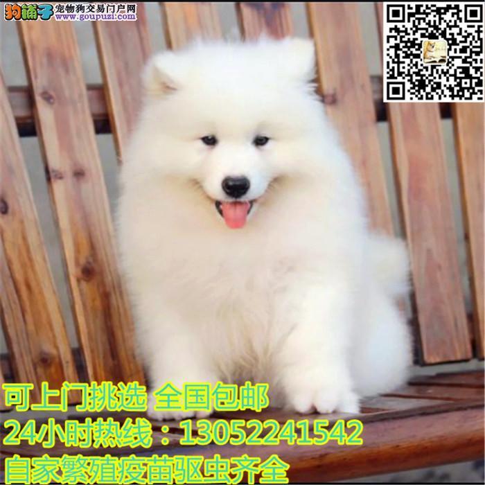 纯种萨摩耶幼犬出售 微笑天使萨摩 品相极佳品质保!