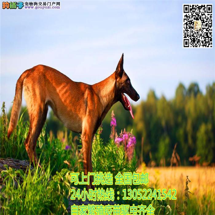 出售.中国的马犬繁殖基地出售纯种马犬 保纯保健康