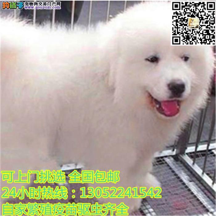 出售大白熊幼犬 品相血统纯正 保证健康 售后有保1