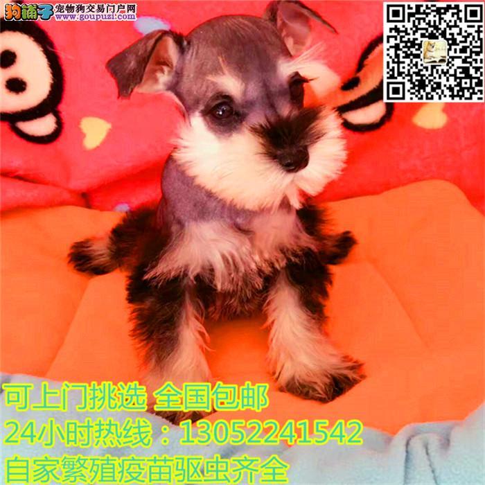 高端雪纳瑞繁育专家 雪纳瑞犬舍出售纯种迷你雪纳!