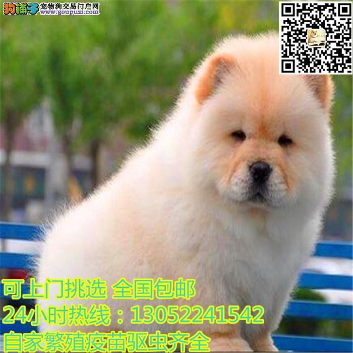 出售纯种犬繁殖基地专业缔造优质松狮犬已驱虫