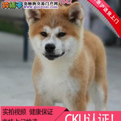 出售纯种秋田犬 可上门挑选 包健康 包邮!