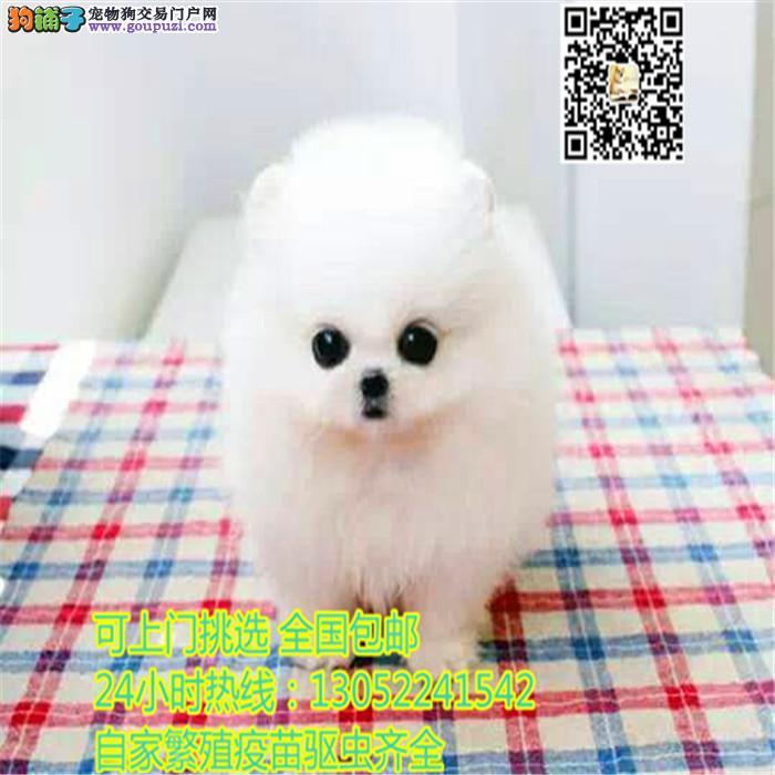 长期繁殖可爱博美俊介犬 各类纯种名犬包养活签协议