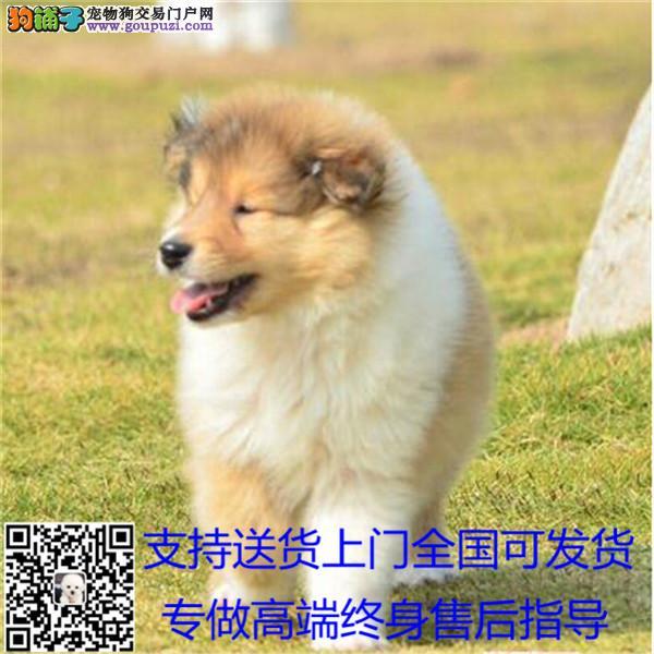 长期繁殖双色苏牧品种多 各类纯种名犬包养活签协议