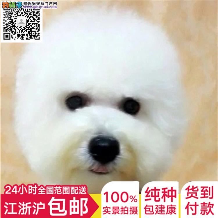 出售泰迪狗狗玩具贵宾泰迪幼犬活体泰迪犬