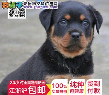 纯种幼犬出售赛级罗威纳宠物狗狗大型犬护卫犬全国配送