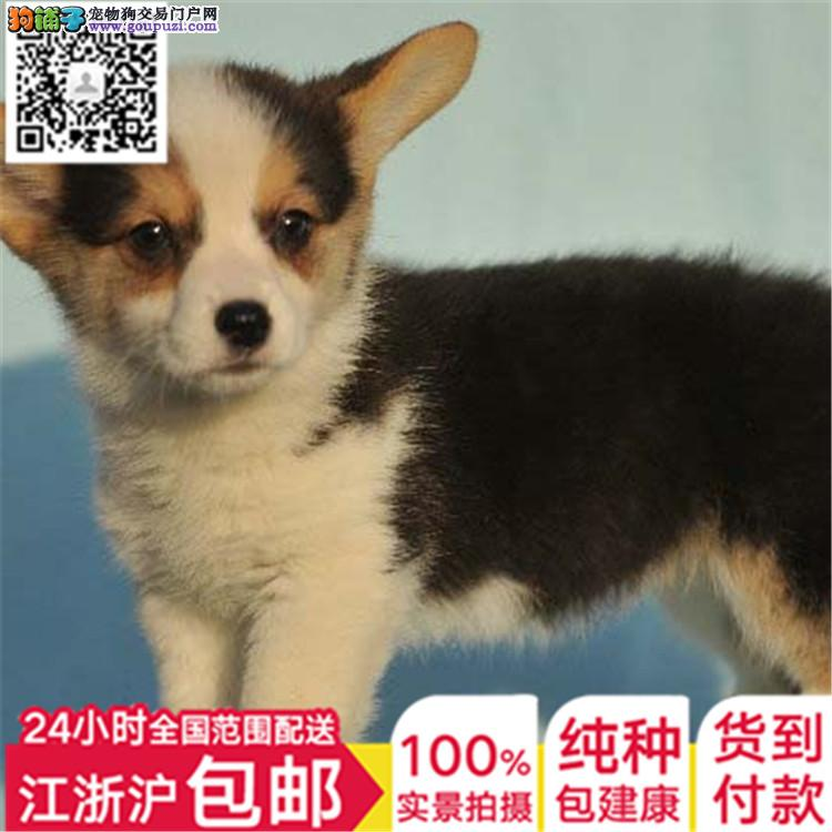上海家养柯基漂亮断尾犬带证书全国发货