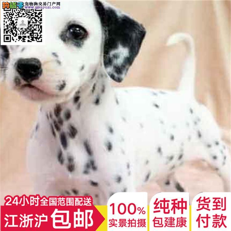 正宗家养斑点狗 可爱质量保障 可质保3个月售后