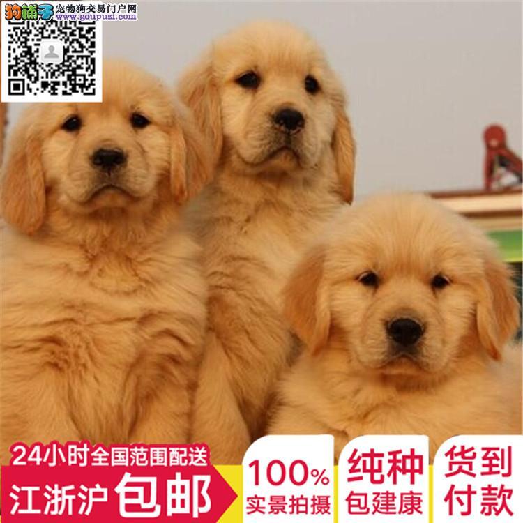 上海纯种金毛犬宝宝出售 金毛犬骨架大性格好不等人