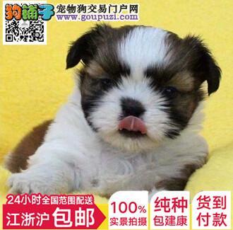 纯血统西施犬幼犬 真实照片保纯保质 签署合同质保