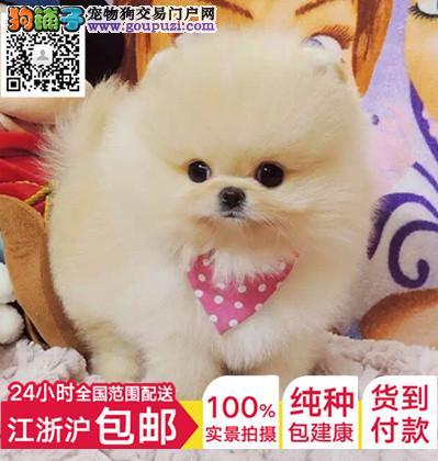 杭州养殖场热销钻石品质秋田犬 赛级精品包纯种