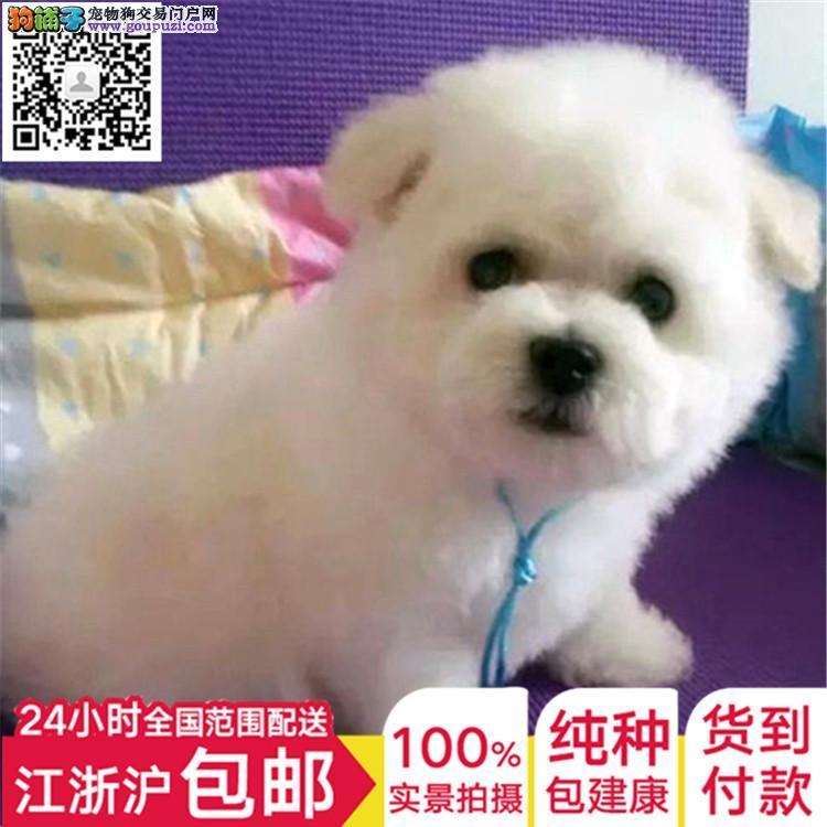 cku认证犬舍出售高品质 无泪痕萨摩耶签协议证件齐全