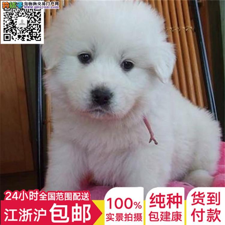 长期繁殖毛质好纯大白熊 各类纯种名犬 包养活