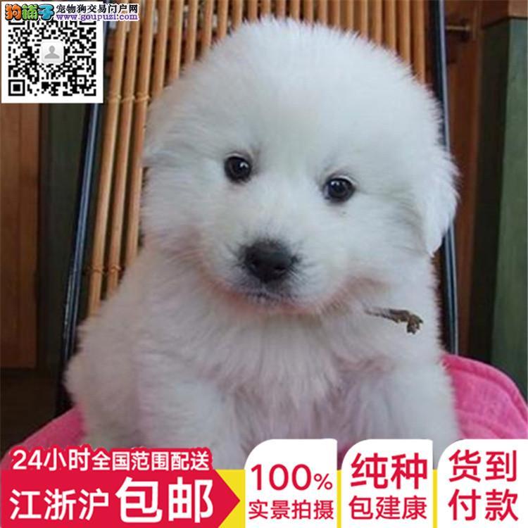 喜欢大白熊的朋友们注意,上海纯种大白熊超值选购