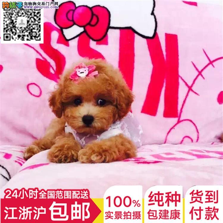 上海正规犬舍泰迪高品质带证书全国发货