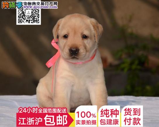出售多只日系济宁秋田犬 可接受预定有问题可包退换