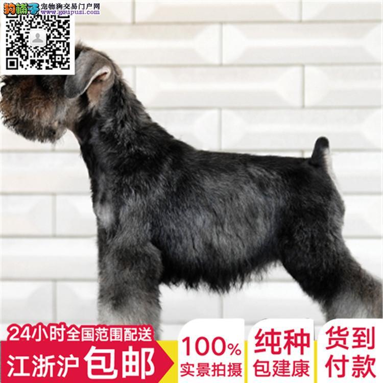精品纯种椒盐色雪纳瑞上海自家犬舍低价转让