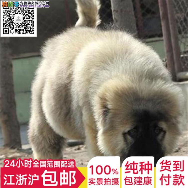 上海高加索犬舍出售俄罗斯护卫犬巨型熊版高加索犬幼犬