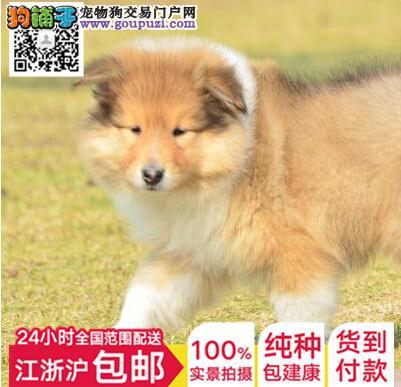 上海苏格兰牧羊犬犬舍专业繁殖纯种健康苏格兰牧羊幼犬