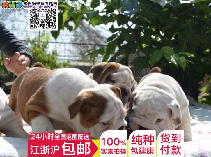 上海狗场繁殖出售好品相的斗牛犬 大鼻筋螺旋尾巴