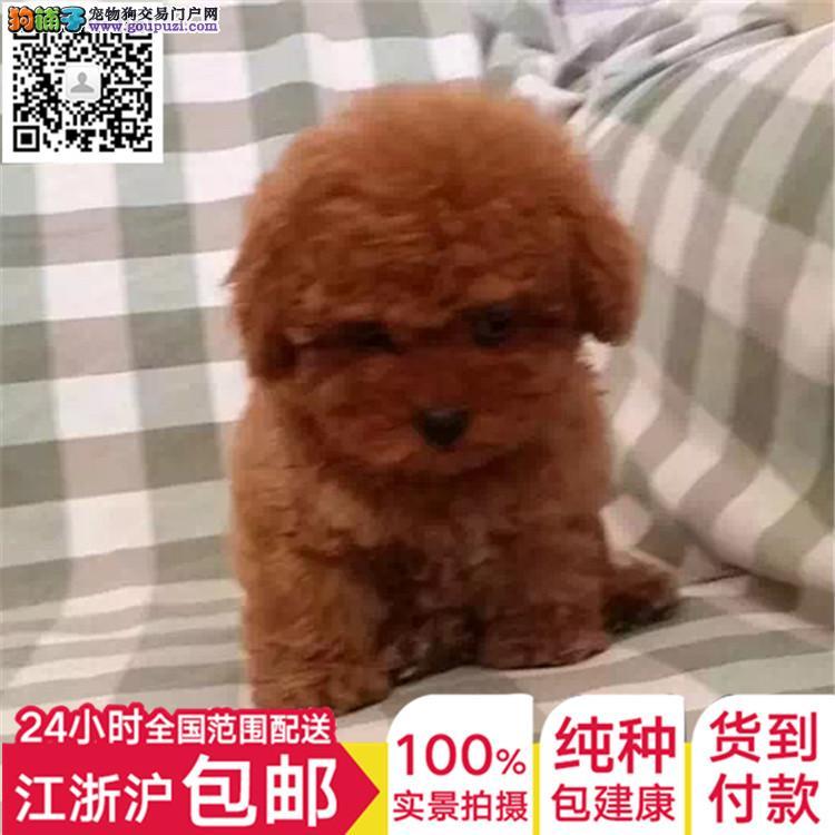 卡哇伊系系列泰迪熊 上海质量三包低价出售 送宠物用品