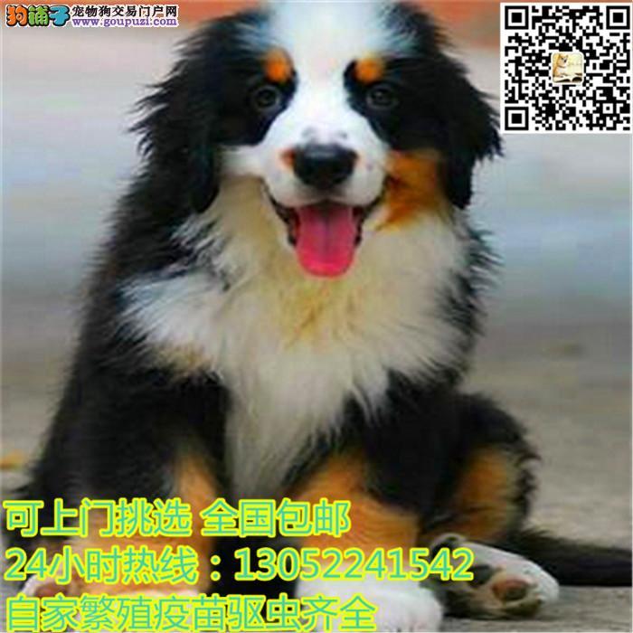 长期繁殖纯种伯恩山犬 各类纯种名犬 包养活签协议