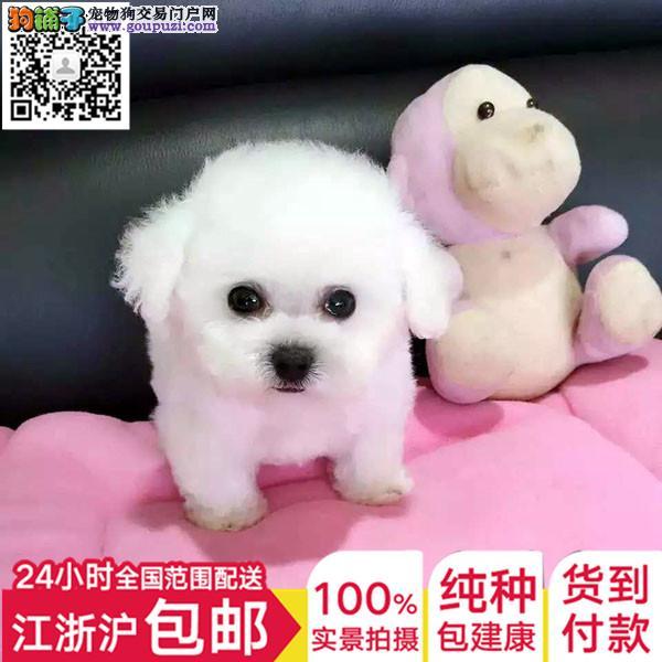 上海犬舍直销纯种健康可爱的泰迪 血统终身保障