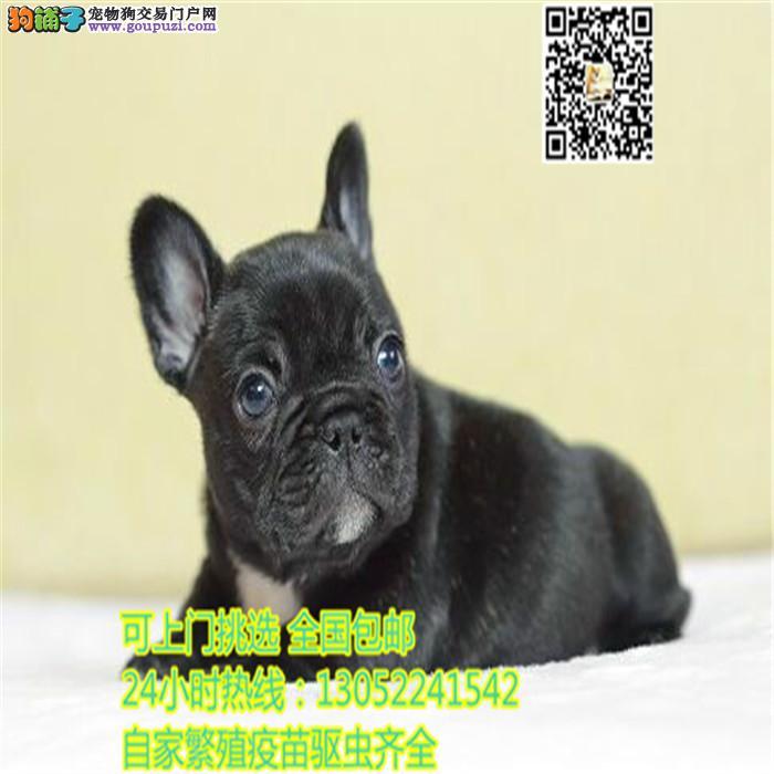 上海自家繁殖英牛幼犬英国斗牛犬健康全国可以送货