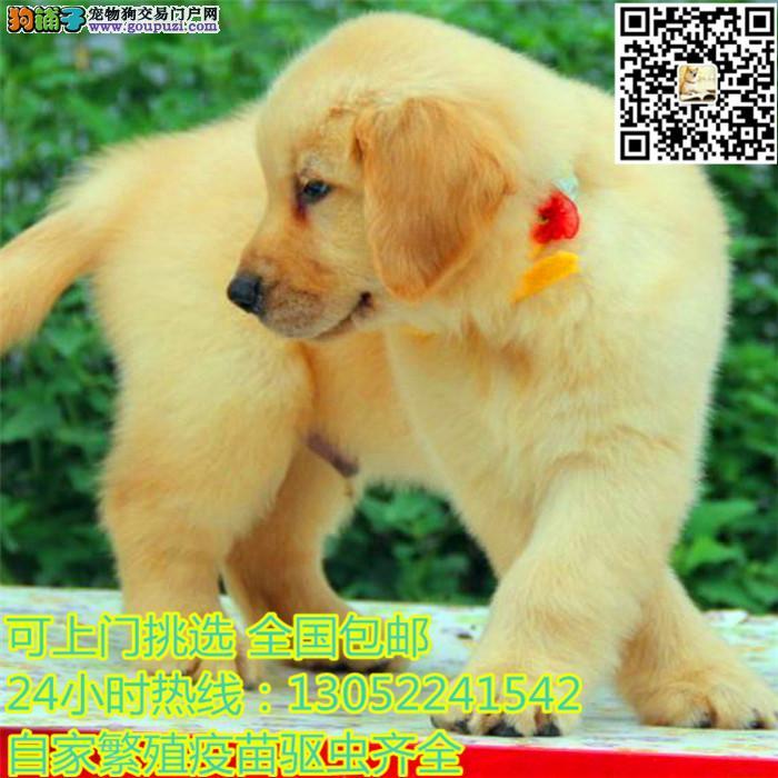 中国高端冠军级赛级金毛领导者,大头宽嘴