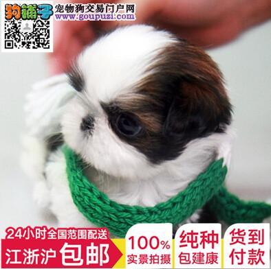西施犬 最好选择 体型小 毛量足 温文尔雅 性格温和