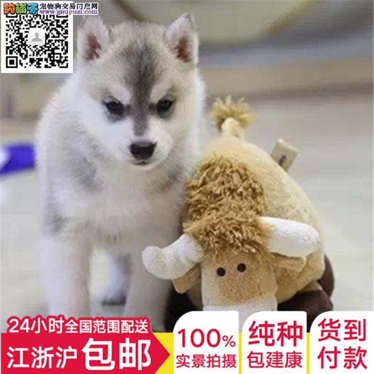 出售纯种伴侣秋田犬 勇敢聪明狗狗 疫苗齐全 喜欢