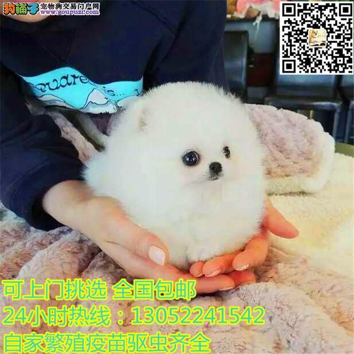 直销纯种哈多利版博美犬 欢迎大家来上海犬舍直接购买