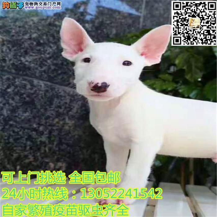 专业繁殖牛头梗幼犬 出售高品质纯血统保健康