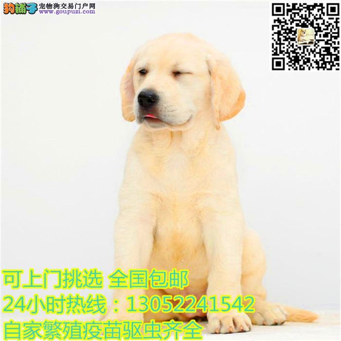 优秀血统拉布拉多犬低价直销 来上海犬舍购买可优惠