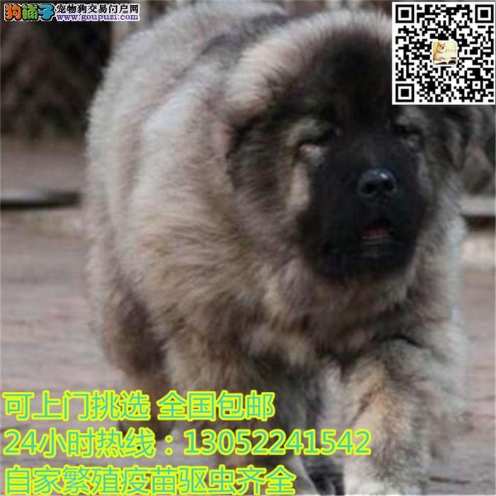 上海出售高加索犬幼犬健康质保签订合同骨量大骨架大