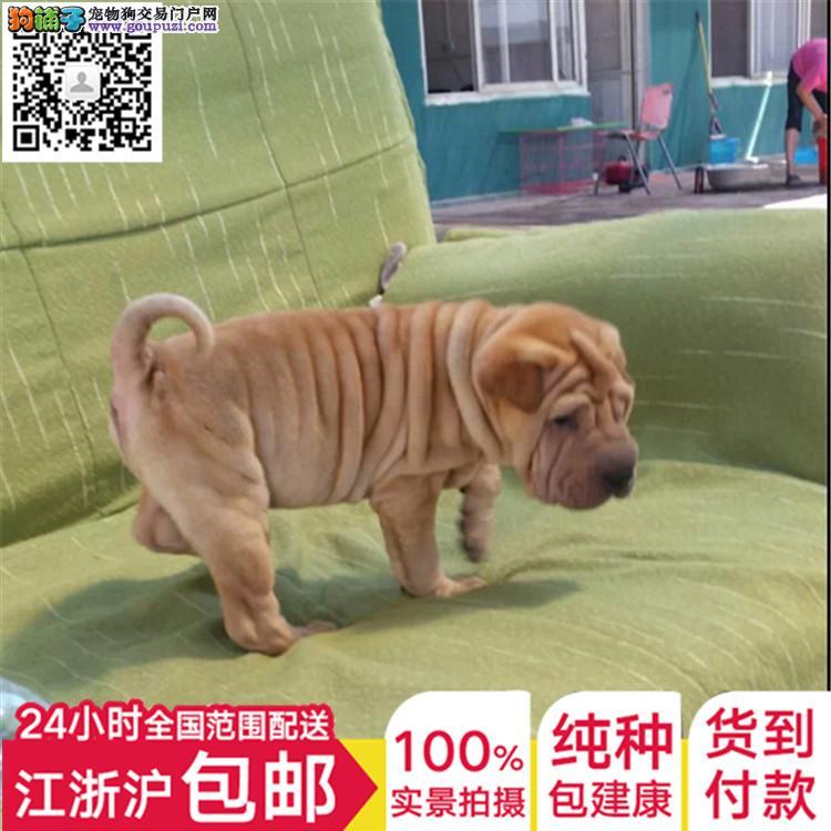 上海犬舍直销纯种沙皮宝宝 CKU认证绝对信誉全国发货