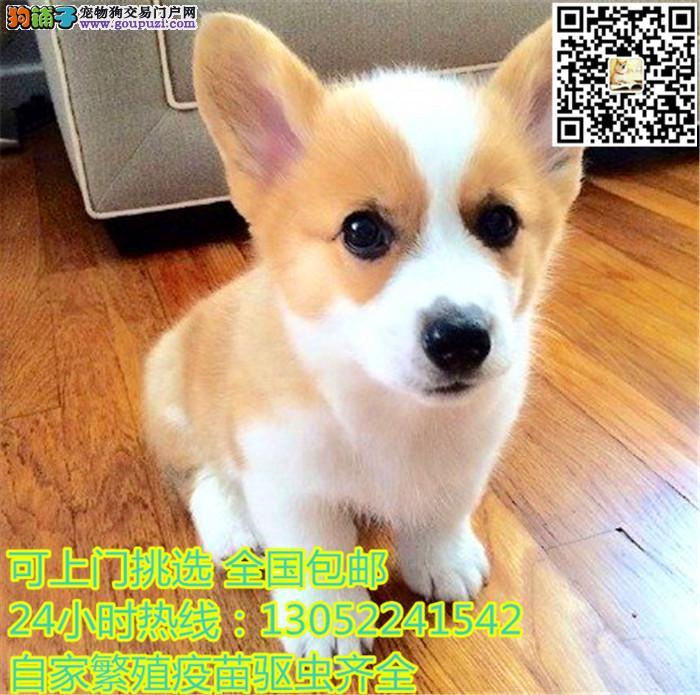 出售纯种威尔士柯基幼犬黄白双色宠物狗活体