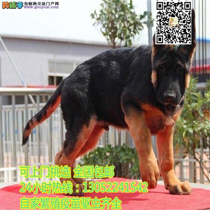 买纯种德国黑背 黑背幼犬品质极佳 终生质保
