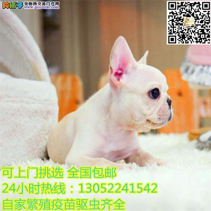 中国 高端 英国斗牛犬繁育专家 出售 顶级英牛犬