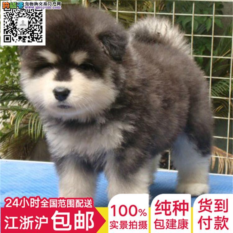 专业繁殖纯种阿拉斯加雪橇犬巨型阿拉斯加幼犬