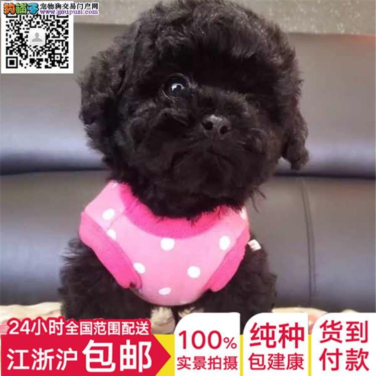 上海出售泰迪纯种迷你保健康全国发货