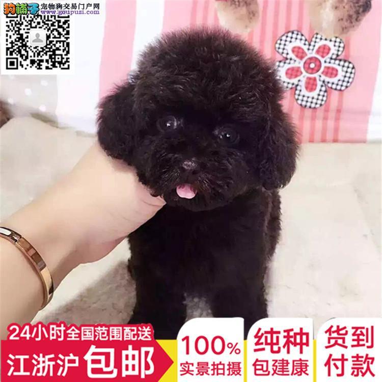 自家犬舍直销韩系血统贵宾犬 支持全国空运发货